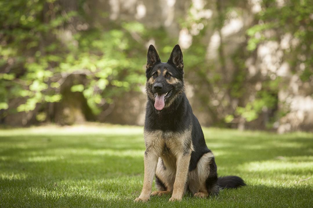 Is my dog a guard dog? Alaska Dog Works
