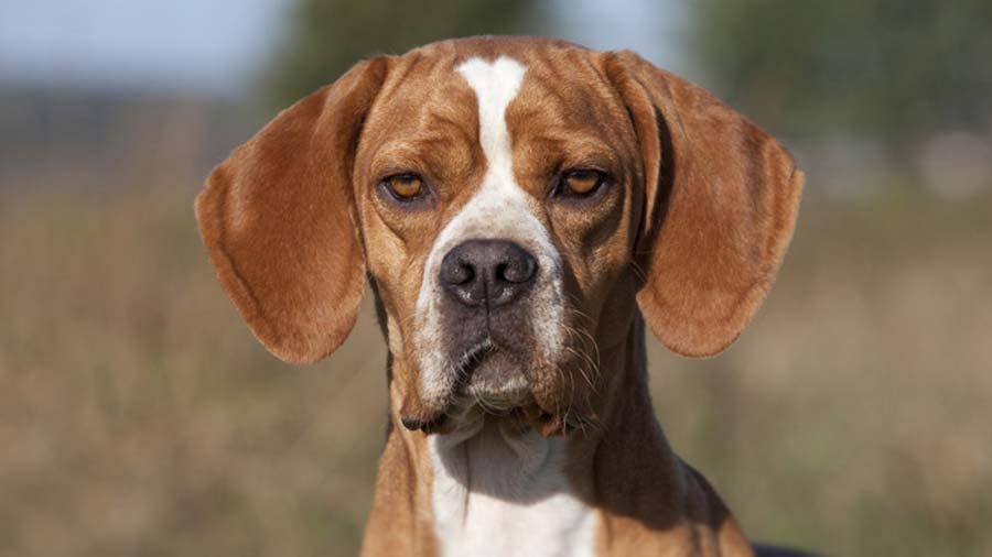 portuguese-pointer-alaska dog works