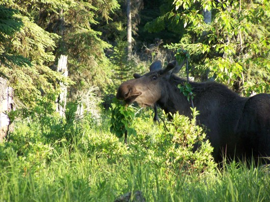 Moose in Parents Yard