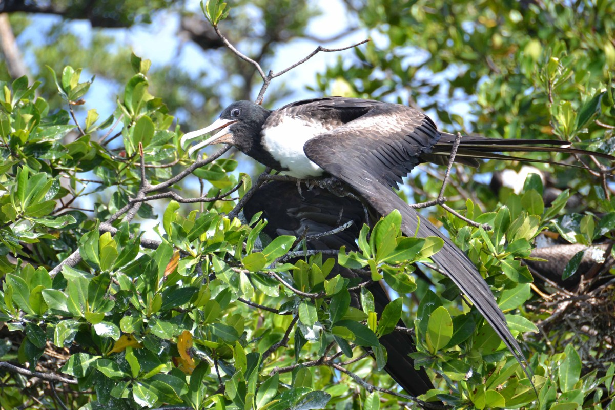 The Beautiful Frigatebirds of Belize