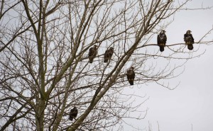 Tree Full of Eagles (Close Up)