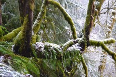 Tree with Moss and Snow