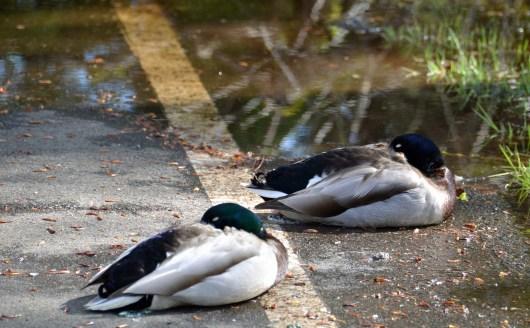 Mallards Resting