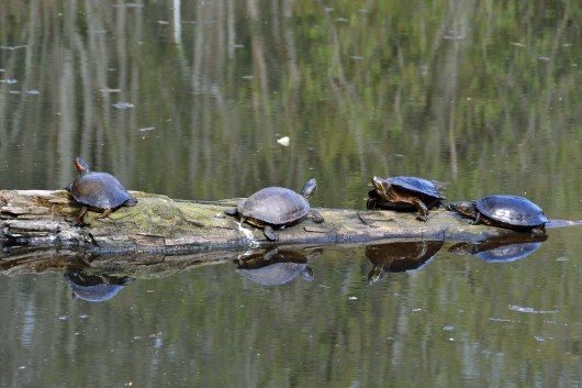 Turtles Getting Some Sun