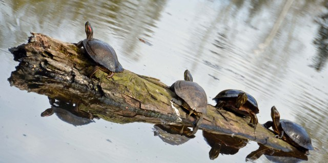 Turtles on Log