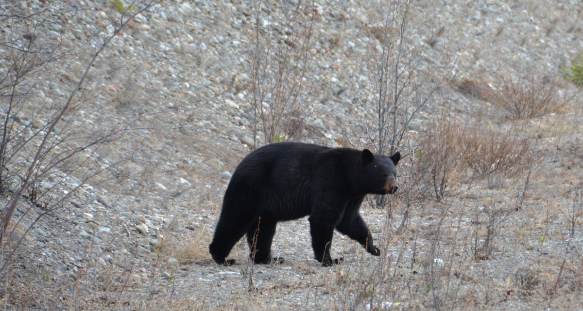 Bears Taking Over the Alaska-Canada Highway