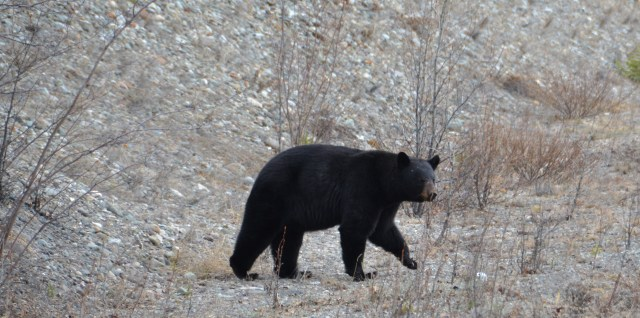Alaska Highway - Bear By Himself