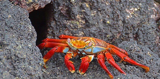 Crab at Galapagos Ecuador