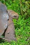 Land Tortoise at Galapagos Ecuador