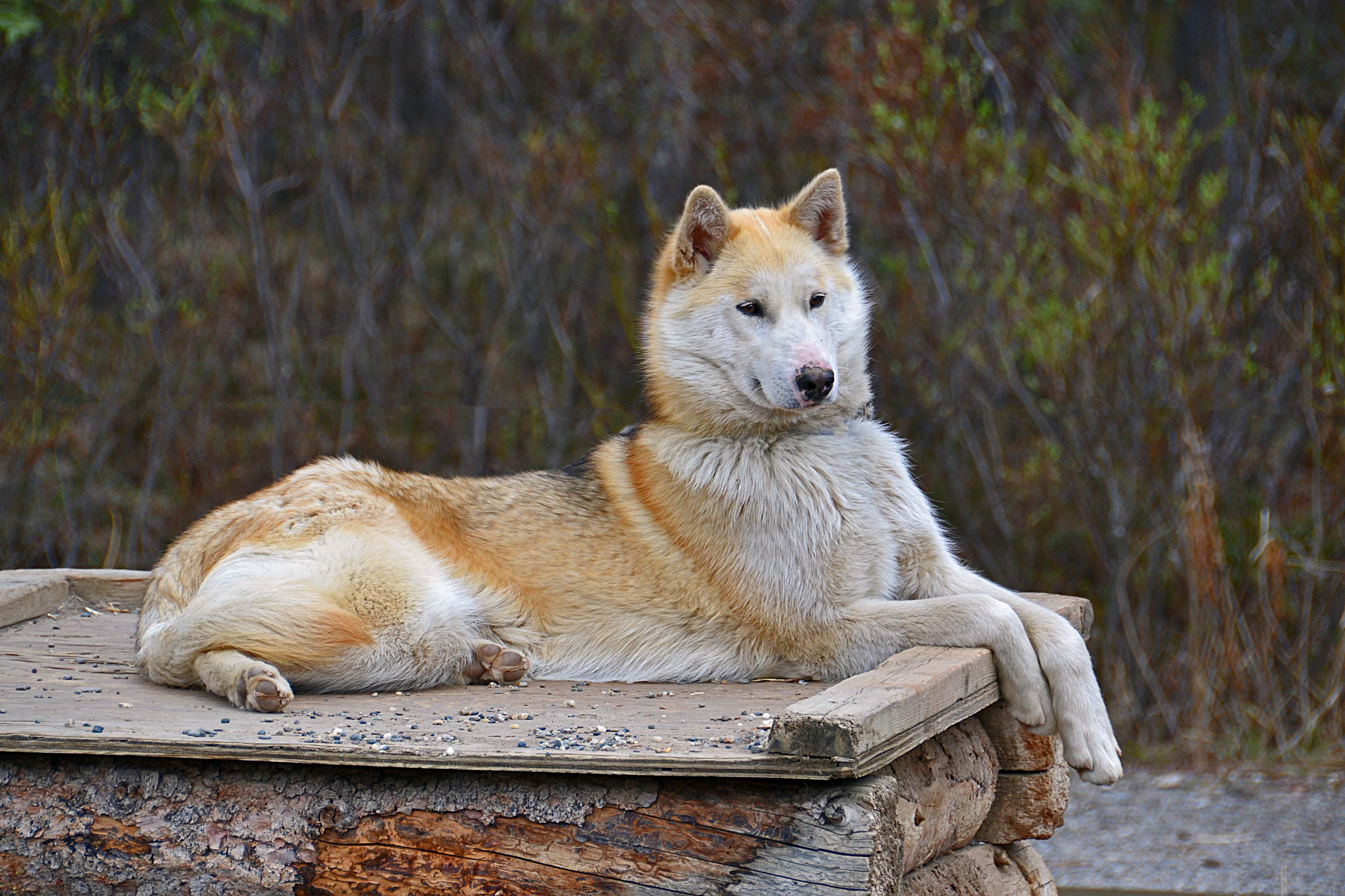 photo essay denali national park travel photography and other denali national park still runs an active dogsled kennel this husky stayed alert and calm even the flow of tourists
