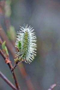 Spring Pussy Willow