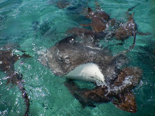Nurse Sharks and Caribbean Sting Rays