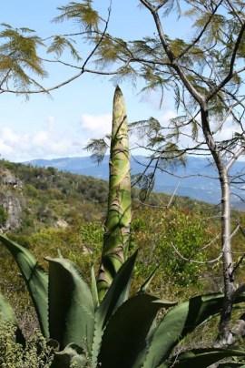 Agave preparing to bloom