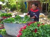 Washing and bundling delicious Oaxaca radishes