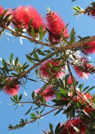 Calistemo, Limpiatubos, Bottle brush tree, callistemon viminalis
