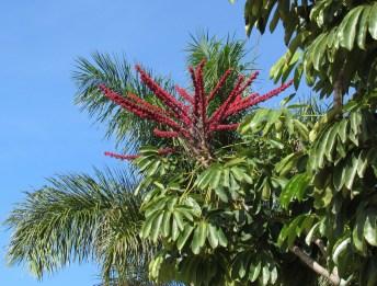 Arbol sombrilla, Umbrella tree, schefflera actinophylla