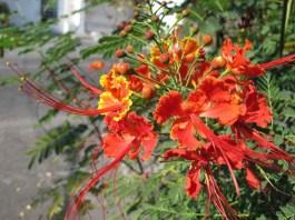 Caesalpinia pulcherrima, a variety of Flamboyán