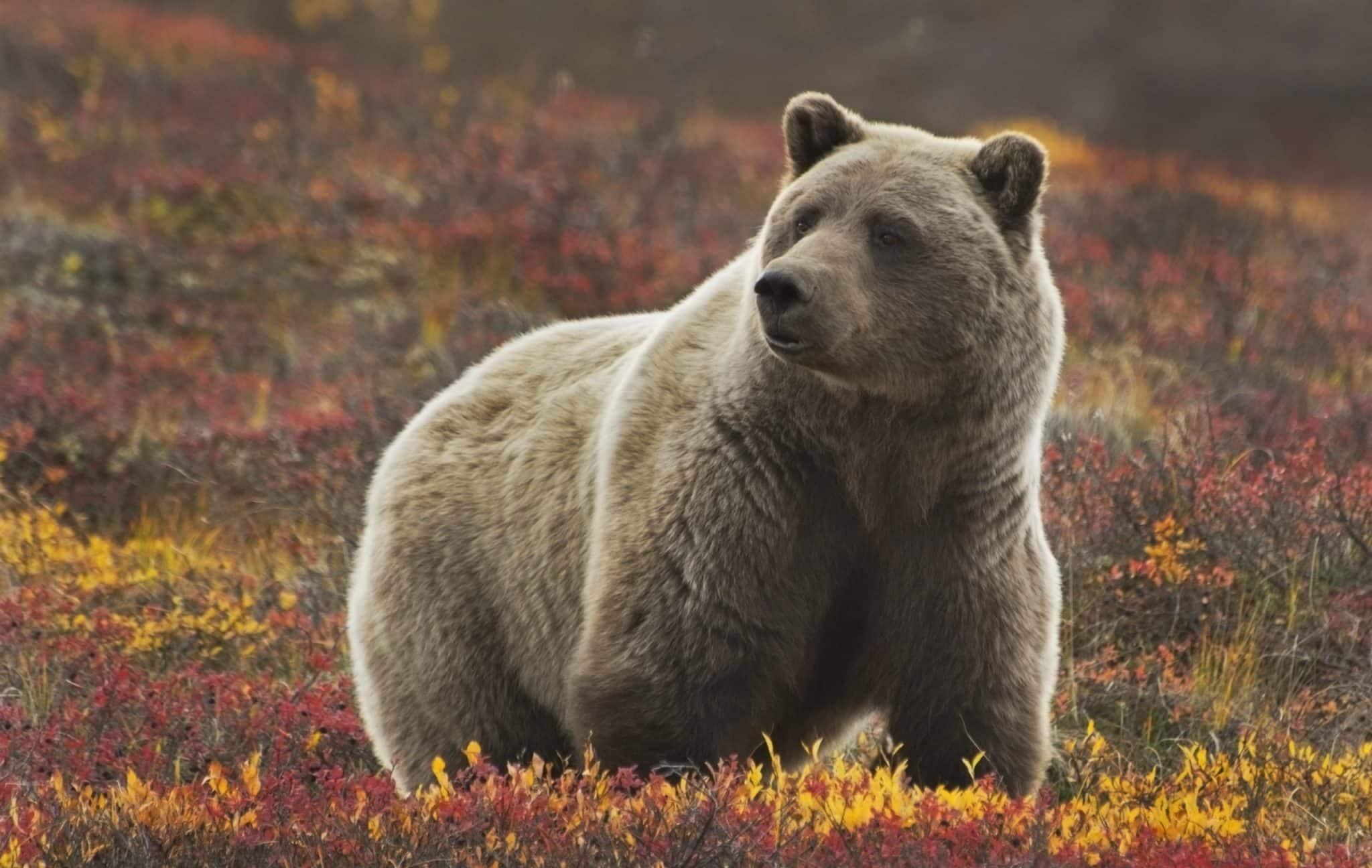 Alaskan Grizzly Bear