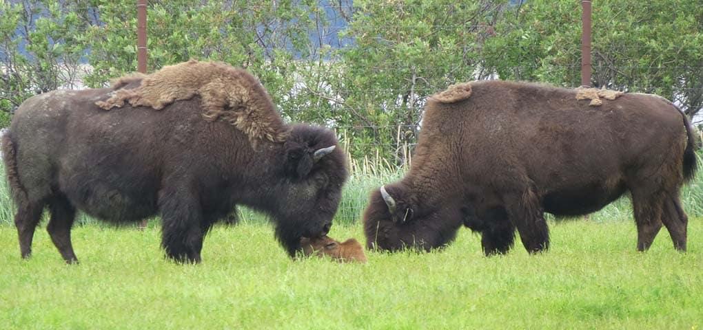 Wood bison at Alaska wildlife conservation center