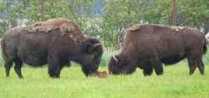 wood bison alaska