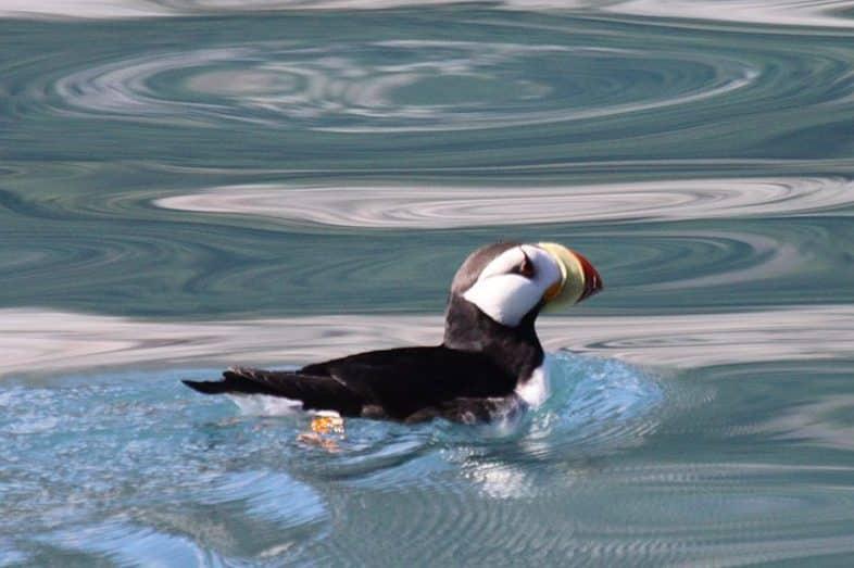 horned puffin seward alaska