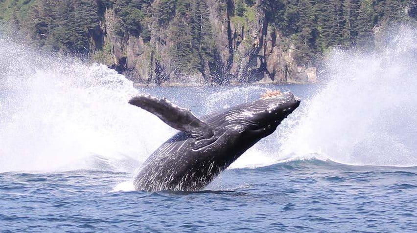 Alaska humpback on Kenai Fjords Tour
