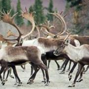 BoG considers FortyMile caribou Friday