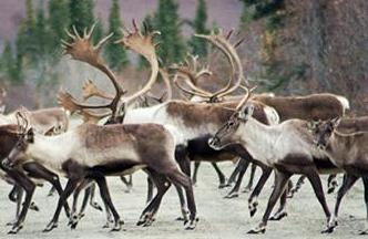Nelchina caribou season extended
