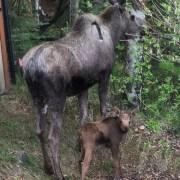 Forget bears–beware of Mama Moose