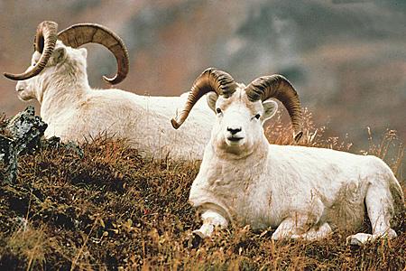 UPDATE: BOG chooses no action on sheep ban