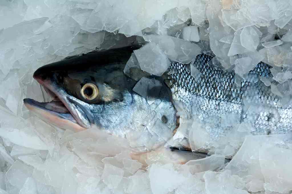 iced salmon