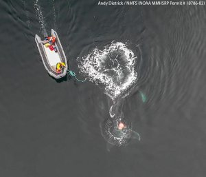 Aerial view of raft with two people, and submerged whale entangled in fishing gear.