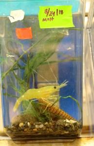 Shrimp in lab container