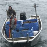 harvesters in a small boat approach a dock with a load of seaweed