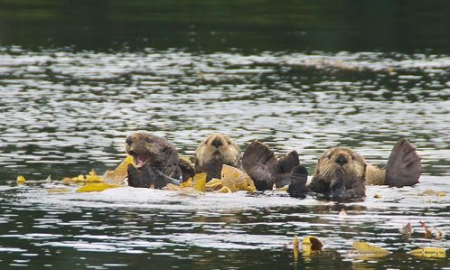 Three floating sea otters