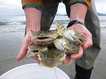 Closeup of hands holding several sculpin fish