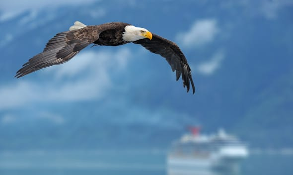 eagle, things to do in Juneau with Alaska Shore Tours