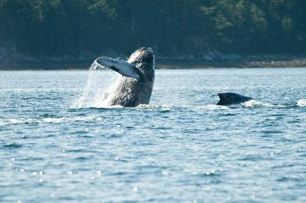 whale1, whale watching tour juneau with Alaska Shore Tours