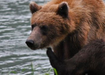 Wildlife Safari and Bear Viewing with Alaska Shore Tours