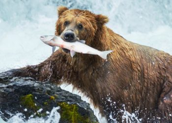 Prince of Wales Bear Viewing Tour with Alaska Shore Tours