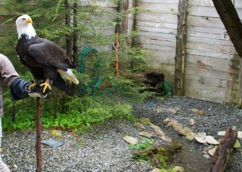 Eagles, Raptors & Rainforest Experience with Alaska Shore Tours