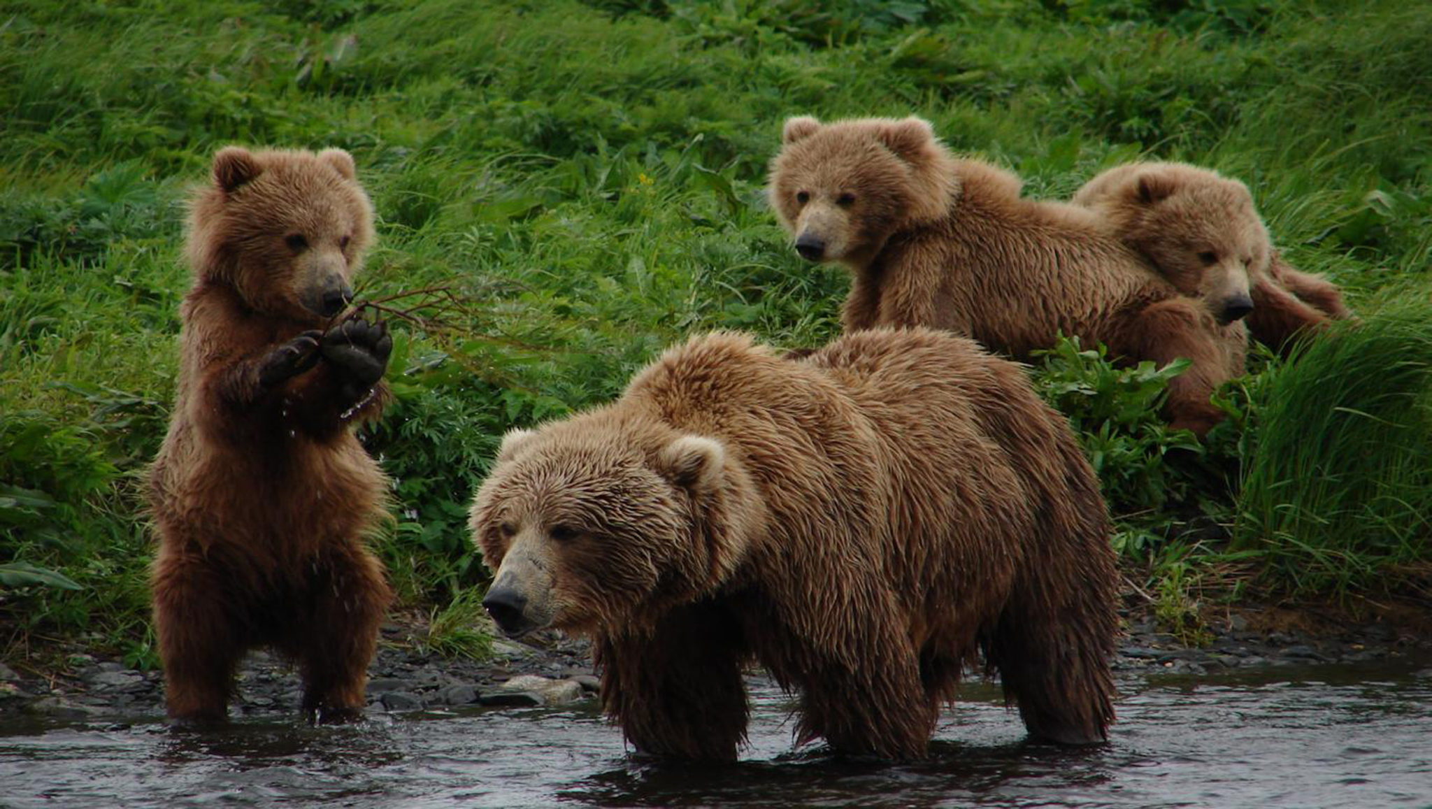 grizzly bears vs brown