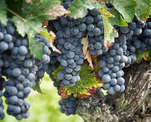 Protection intellectuelle des marques de vin. Crédits : domaine-de-la-commanderie.fr