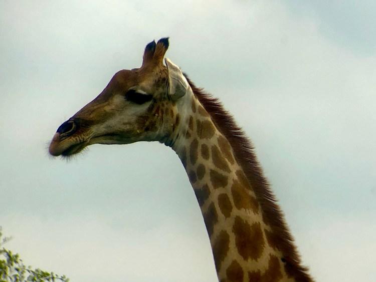 Giraffe in Pilanesberg National Park