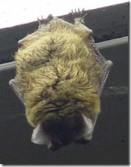 Big Brown Bat by Bill Huber, on Flickr