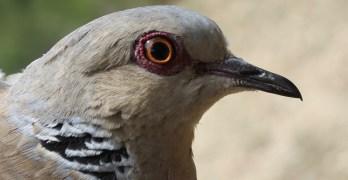 Ecologistas y ornitólogos piden que la tórtola común deje de ser especie cinegética