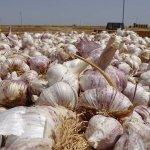 La campaña de ajo se presenta con retraso pero con mejores precios y una superficie superior