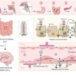Investigadores de Albacete explican cómo llega el coronavirus desde las vías respiratorias hasta el cerebro, pasando por el aparato digestivo