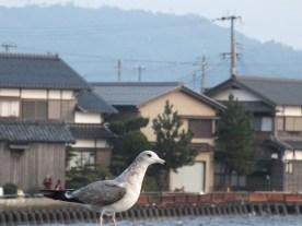 Amanohashidate dan camar (1)