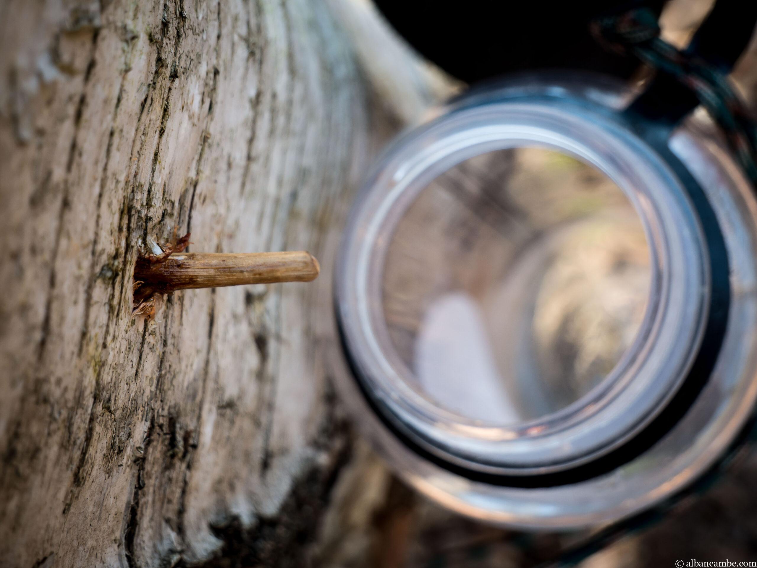Récolter l'eau de bouleau avec peu (ou pas) de matériel